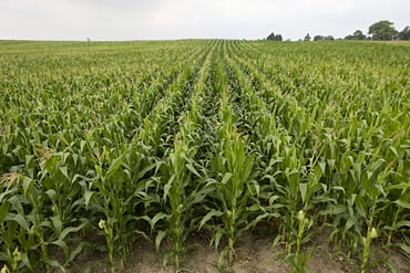 Corn Fields, used to produce Spanish Vodka