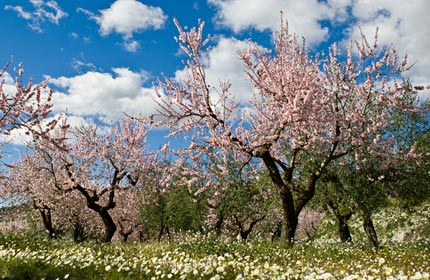 The almond blossom in the Jalon Valley