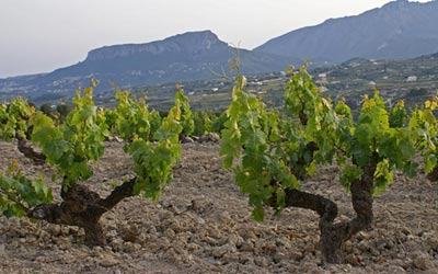 The vineyards between Lliber and Jalon